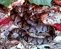 Copperhead Snake Fact Page What S That Snake Oplin